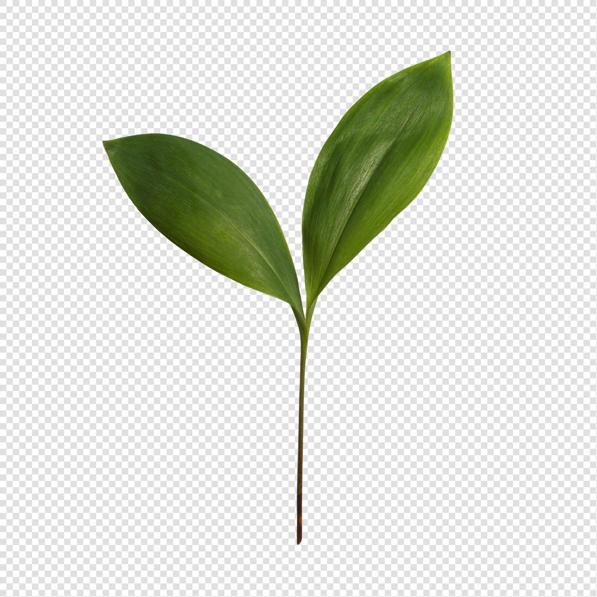 Leaf PSD isolated image