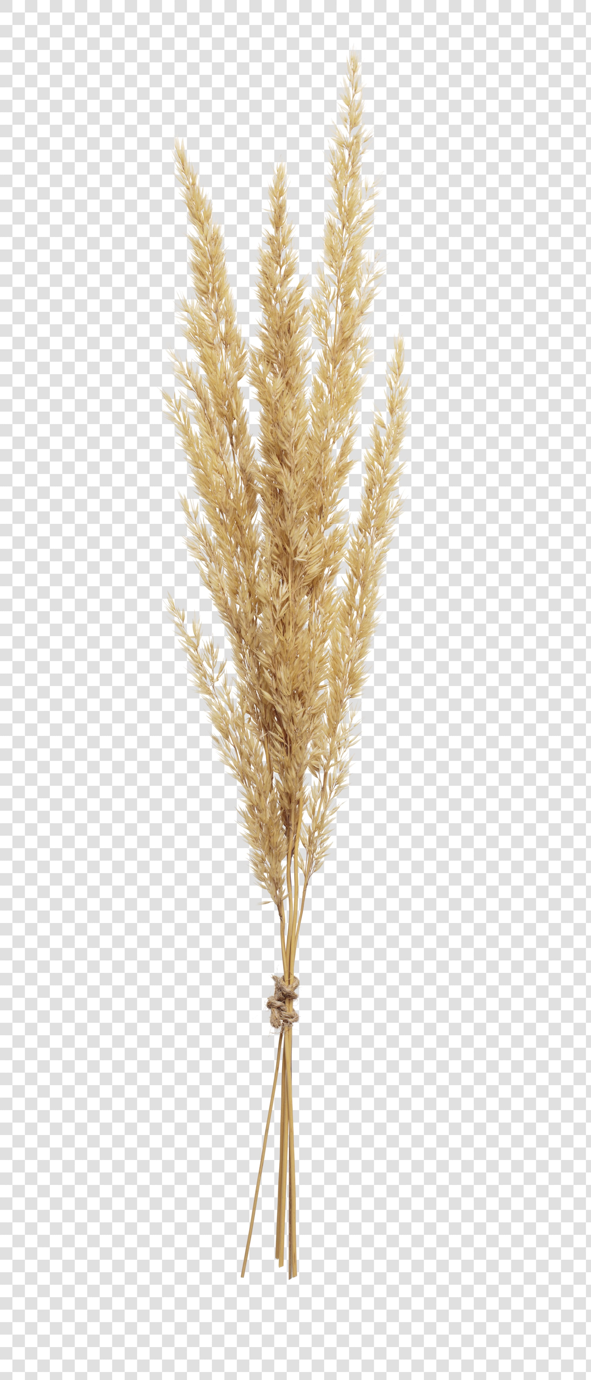 Spikelet image with transparent background