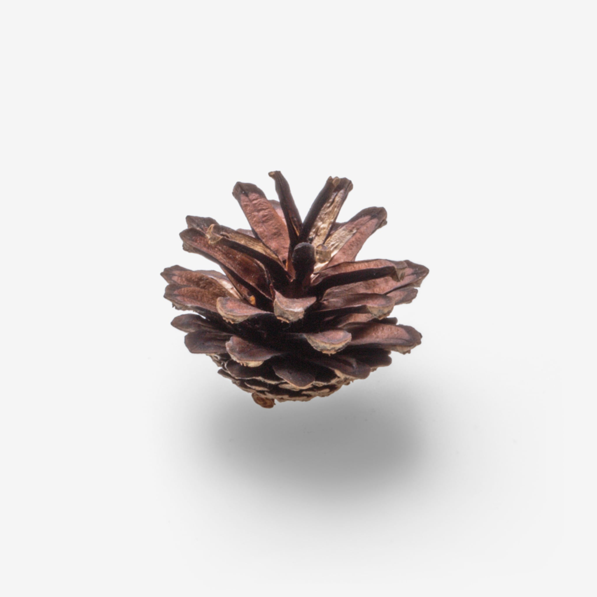 Dried flower image asset with transparent background