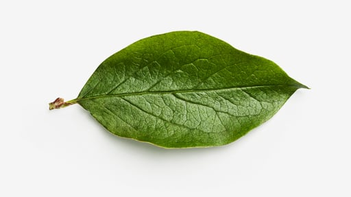 Leaf image asset with transparent background